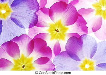Close-up of pastel primula flowers against white background