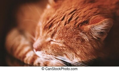 Close Up Of Peaceful Red Cat Curled Up Sleeping Home In His...