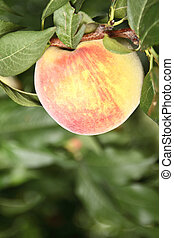 Close up of Peach on the tree