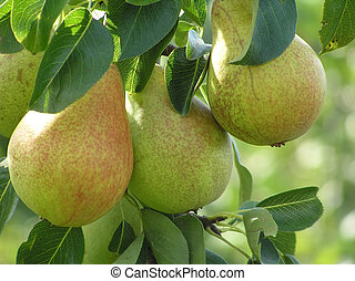 Close-up of pear