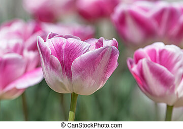 close up of peony tulip flower