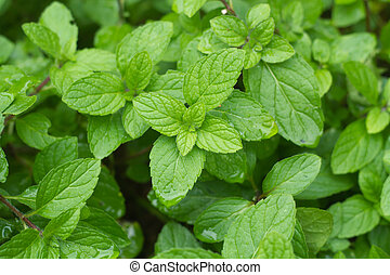 Close up of peppermint leaf in vegetable garden.