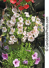 Close up of petunias hanging in the basket background