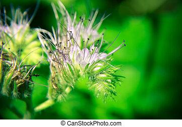 Close-up of phacelia flower tanacetifolia and humble bee...
