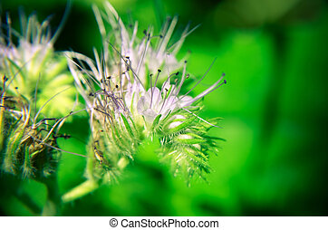 Close-up of phacelia flower tanacetifolia and humble bee...