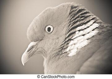 pigeon - close up of pigeon head