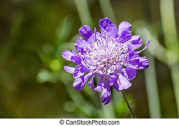 Close up of Pincushion Flower (Scabiosa columbaria) on a dark background