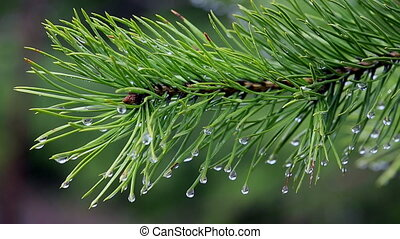 close-up of pine branch with water