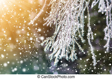 Close-up of pine tree covered with snow frost in winter