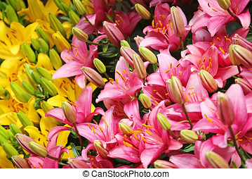 close up of pink and yellow lily flowers