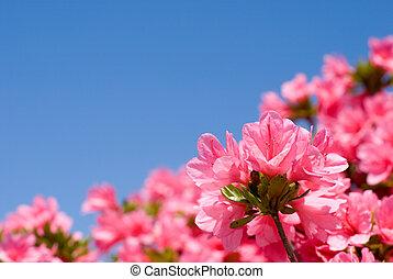 Close up of pink azalea - Close up of bright pink azalea ...