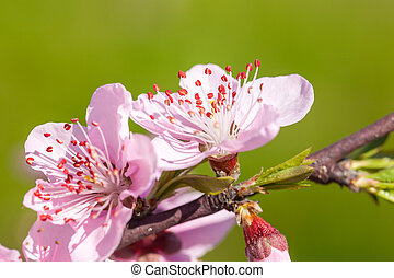 Close up of pink Cherry Blossom flowers on tree branch