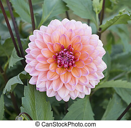 Close up of pink chrysanthemum flower
