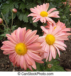 Close up of pink Chrysanthemums flowers on green garden background. Beautiful pink flowers as background picture. Chrysanthemum in autumn.