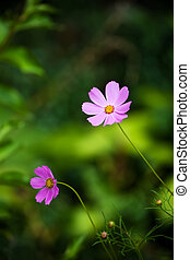 Close up of pink \'cosmos\' flowers