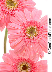 Close up of pink gerber daisies - Close up of three pink...