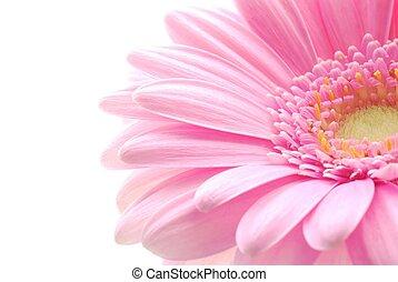 pink gerbera - Close-up of pink gerbera flower against white...