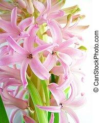 pink hyacinth flower - Close-up of pink hyacinth flower ...