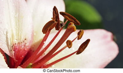 Close up of pink lily and a wasp.