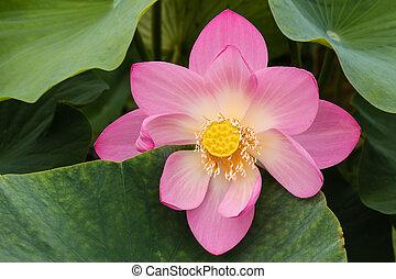 pink lotus flower head