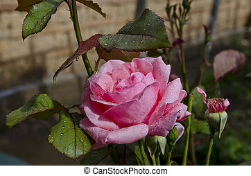Close-up of pink rose in a garden