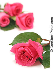 Close up of Pink Roses on a White Background