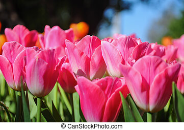 Close up of pink tulips lit by sunlight
