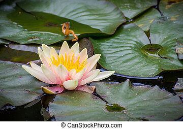 Close up of pink water lily; dark green leaves in the background