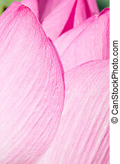 Close up of pink water lily.