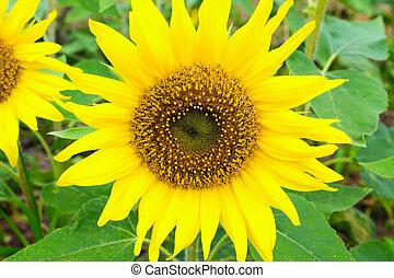 Close up of Pinocchio Sunflower