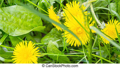 Close-up of plantain and Yellow dandelion in a meadow, top view, Sunny day, horizontal banner