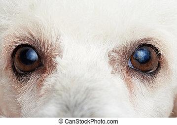 Close-up of poodle eyes