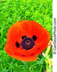 close up of poppy flower
