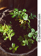 close-up of potato plants in pot outdoor in sunny backyard