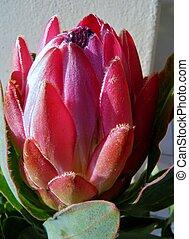 Protea blossom - Close up of Protea blossom