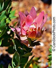 Protea bush - Close up of Protea bush at Kirstenbosch...