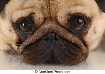 close up of pug dog looking at viewer