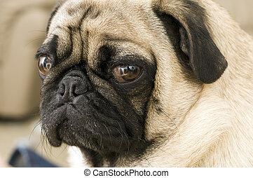 Close up of Pug