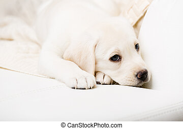 Close up of purebred puppy lying on the sofa