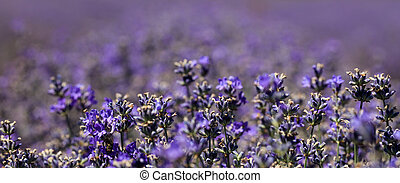 close-up of purple blooming lavender