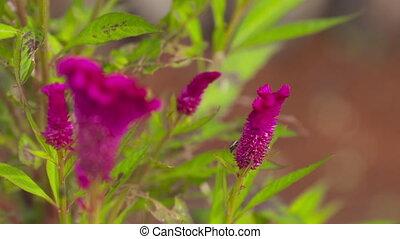 Close up of purple cockscomb flowers