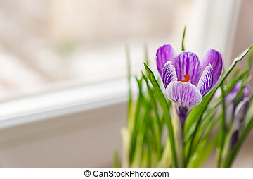close up of  purple crocus in bloom on window sill. Spring flowers, domestic gardening