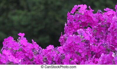close up of purple flower phlox bush in rain at summer. 4K