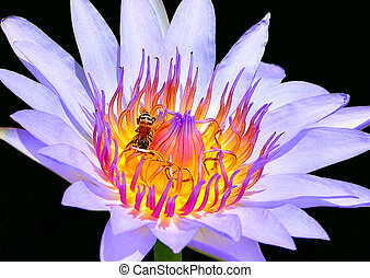 Close up of purple lotus has bee on flower with black background