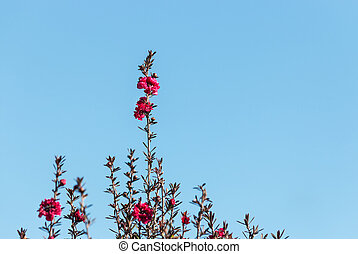 purple manuka tree flowers against blue sky