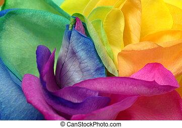 Close up of rainbow rose heart - Macro of rainbow rose heart...