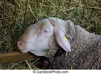 Close up of ram's head - Profile of big ram feeding from ...