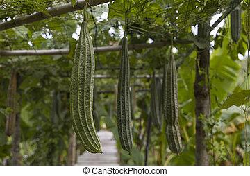 Close up of raw fresh zucchini in the garden.