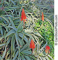 Close up of Red aloe flowers