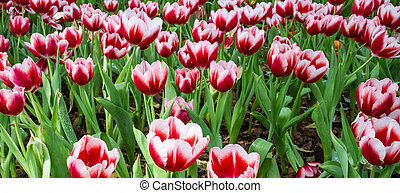 Close up of red and white tulips in the garden